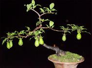 盆栽葫芦的注意事项