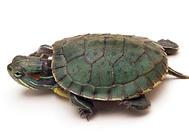 你知道什么情况下会导致龟肠胃炎吗?