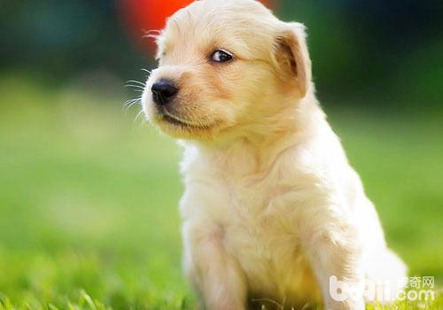 狗狗乳头变色的可能原因-轻博客