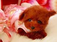 泰迪狗狗感冒怎么辦