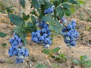 蓝莓盆栽的种苗挑选要点