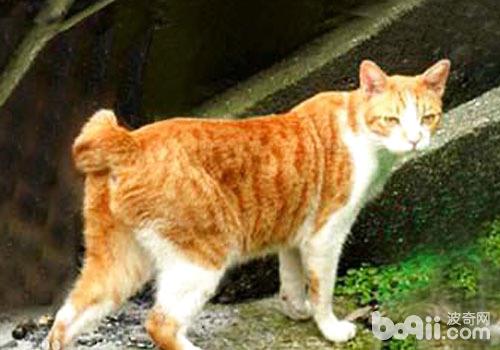 千奇百怪的动物_什么是麒麟猫?|猫咪品种-波奇网百科大全