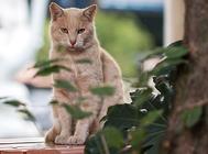 什么是麒麟猫?