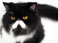 波斯猫的毛色有哪些?