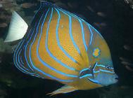 淡水神仙鱼怎么饲养?