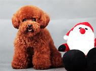 泰迪狗狗感冒的癥狀分析