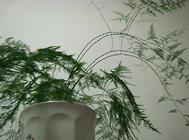 文竹播种繁殖的方法介绍