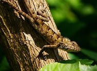 变色树蜥有哪些习性