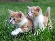 爱猫产后缺钙的症状及治疗