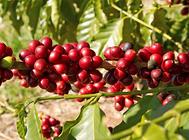 盆栽咖啡树前的准备工作