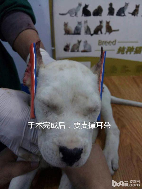 杜高犬的立耳手术案例