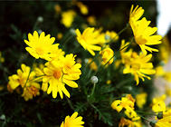 菊花的两种室内越冬方法