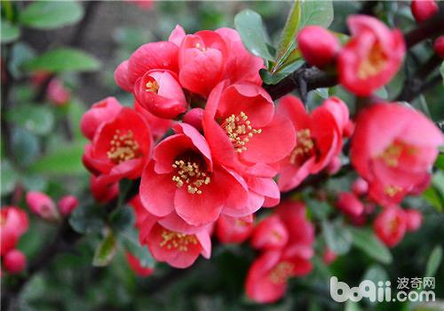 海棠花的修剪方法介绍