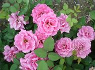 如何区分月季与玫瑰