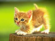 宠物猫罐头能否当主食
