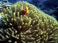 奶嘴海葵怎么饲养?