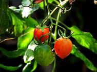 樱桃番茄的栽种方法介绍