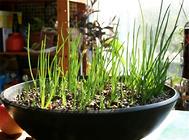 花盆适合种植哪些蔬菜