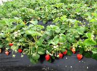 牛奶草莓的栽培方法
