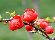 贴梗海棠掉叶的原因及解决方法