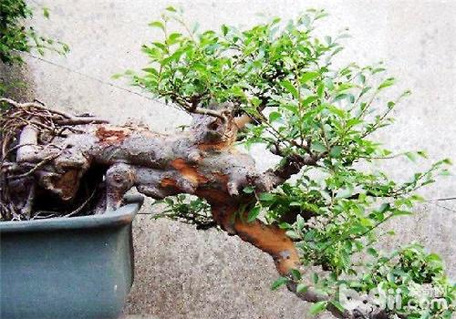 榆树盆景的制作方法
