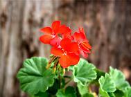 天竺葵的常见品种介绍