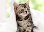 松木猫砂的优缺点分析