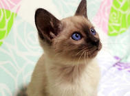怎么训练暹罗猫和其他宠物相处?