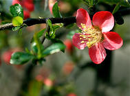 木瓜海棠的栽培要点