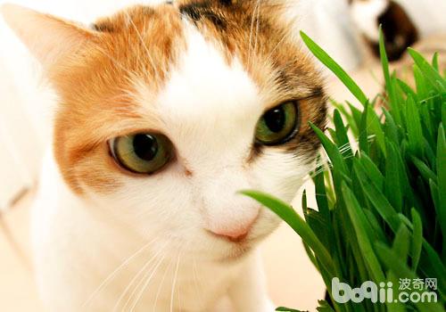 化毛膏和猫草有什么不一样