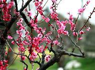 花木露天越冬的防寒技巧