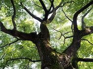 香樟树的经济价值介绍