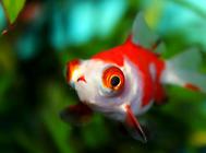 金鱼鱼缸的过滤系统怎么配备?