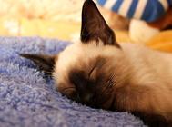暹罗猫美容有什么技巧?