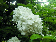 琼花的播种繁殖方法