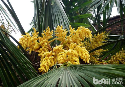 棕榈的栽种要点