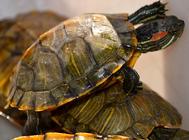 乌龟壳为什么那么硬?