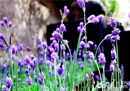 大面积种植薰衣草的注意事项