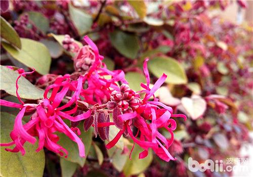 红花檵木的扦插繁殖法介绍