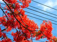 凤凰木的播种繁殖要点