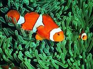 小丑鱼饲养四大技巧