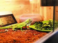 饲养两栖爬虫要注意哪些问题
