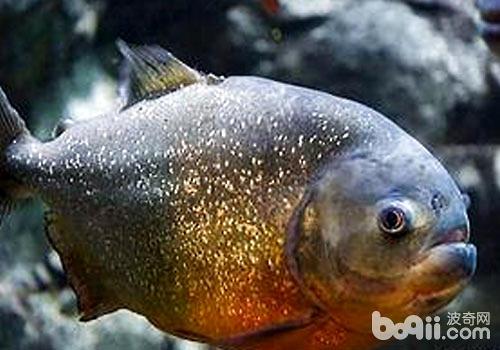水虎鱼饲养要注意什么?
