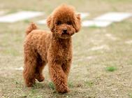 泰迪犬皮肤病的预防和治疗