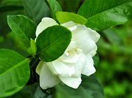 盆栽栀子花的养护要点