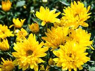 保证菊花优质高产的方法建议