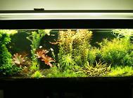 清道夫对鱼缸清洁的作用