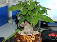 如何养护让发财树的茎部肥大