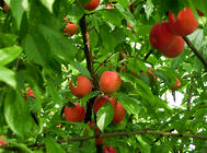 果树肥害的预防及处理方法