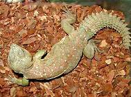 孔雀刺尾蜥有什么特征